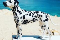 AppleCaliforniaHerrmann's Dalmatian - Croatia 2020
