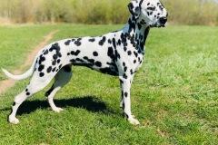 AppleCaliforniaHerrmann's Dalmatian - Jaro 2020