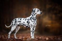 AppleCaliforniaHerrmann's Dalmatian