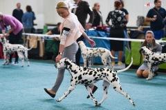 Apple California Herrmann's  Dalmatian -CACIB Bratislava 2019