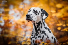 Apple California Herrmann's Dalmatian